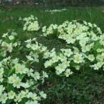 プリムローズ 群れて咲く花