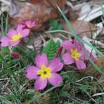 プリムローズ 濃いピンクの花