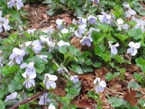 タチツボスミレ 群れて咲く花の姿