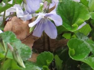 タチツボスミレ 花のアップ