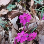 ミスミソウ 濃いピンクの花