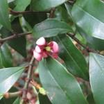 Michelia figo/ カラタマオガタマ