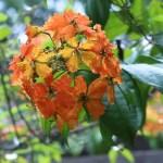 Red Trailing Bauhinia/ ボウヒニア・コッキアナ