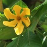 キバナクチナシ 花の姿