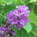 オオバナサルスベリ 花の様子