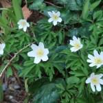 ヤブイチゲ 花の姿