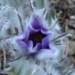Haller's anemone/ プルサチラ・ハーレリ