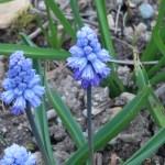 Azure grape hyacinth/ ムスカリ アズレアム