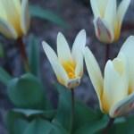 Kaufmanniana Tulips/ カウフマニアーナチューリップ