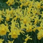 Wild daffodil / ラッパスイセン 黄色の花のラッパスイセンの様子