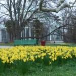 Wild daffodil / ラッパスイセン 黄色の花のラッパスイセンの咲いている様子