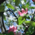 カリン 花の咲いている様子