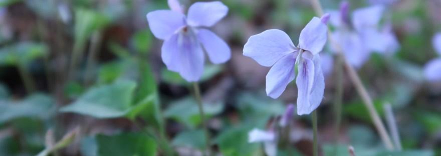 Viola grypoceras/ タチツボスミレ