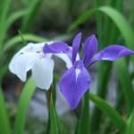 カキツバタ 紫と白色の花