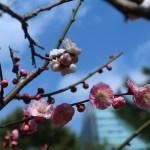ウメ 枝で紅白に咲き分けている花