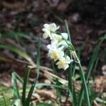 スイセン 房咲き水仙