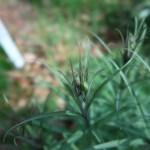 アミガサユリ 花のつぼみ