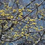 サンシュユ 満開に近い花の様子