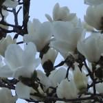 ハクモクレン 満開の花の様子