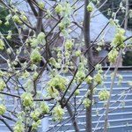 トサミズキ 花の咲いている様子