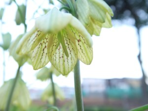 アミガサユリ 花のアップ