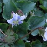 Common blue violet/ アメリカスミレサイシン