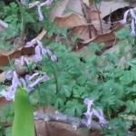 ジロボウエンゴサク 花の姿