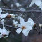 コブシ 花の様子