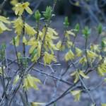 チョウセンレンギョウ 花の姿