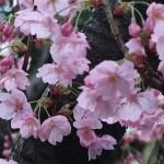 ヨウコウサクラ 陽光桜 花の姿