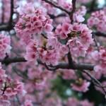 オオカンザクラ 花の咲いている様子