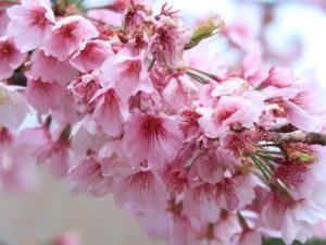 オオカンザクラ 花の様子