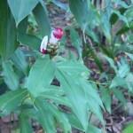コスツス・ルカヌシアヌス 花の様子