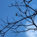ファーミアナ マラヤナ 枝の先の花の様子