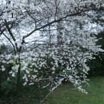 スピノサスモモ 花の咲いている様子