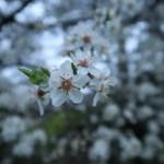 スピノサスモモ 花の様子