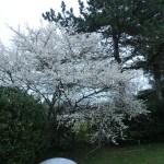 スピノサスモモ 花の咲いている木の様子