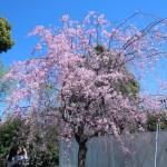 シダレザクラ 花の咲いている木の様子
