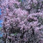 シダレザクラ 花の様子
