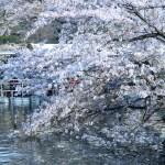 ソメイヨシノ 池に張り出す桜の花