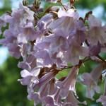 キリ 花の様子