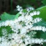 Rodgersia podophylla/ ヤグルマソウ