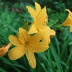 ムサシノキスゲ(ゼンテイカ) 花の姿