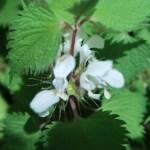 オドリコソウ 花の様子