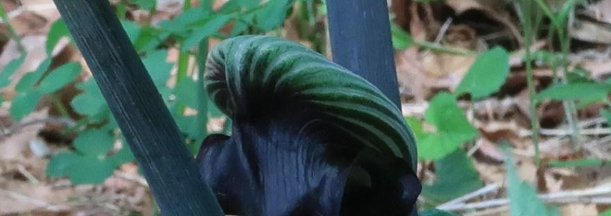 ムサシアブミ 独特の花の様子