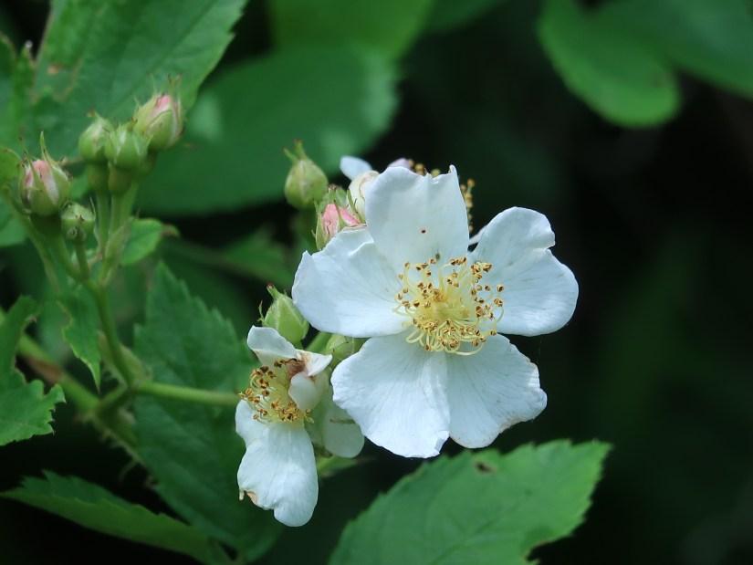 Multiflora rose/ ノイバラ