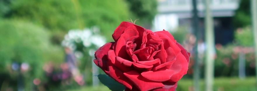 Modern garden rose/ Hybrid Tea/ Papa Meilland パパメイアン