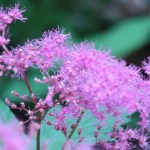 Purple meadowsweet/ キョウガノコ