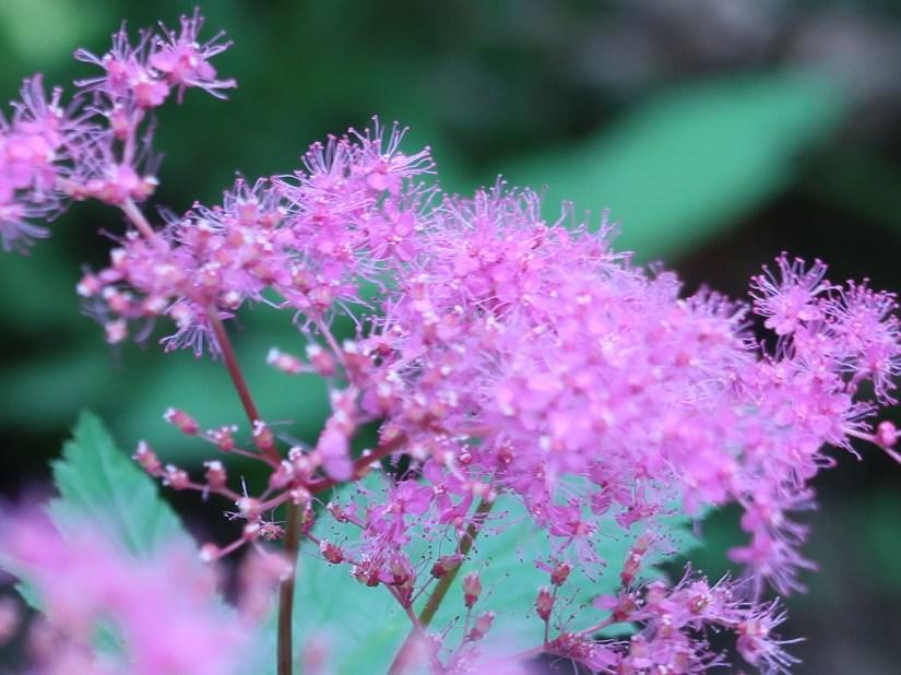 Purple meadowsweet/ キョウガノコ