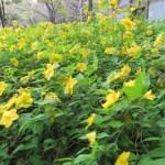 ヤマブキ 満開の花